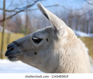 The llama (Lama glama) is a South American camelid, widely used as a meat and pack animal by Andean cultures since pre-Hispanic times.