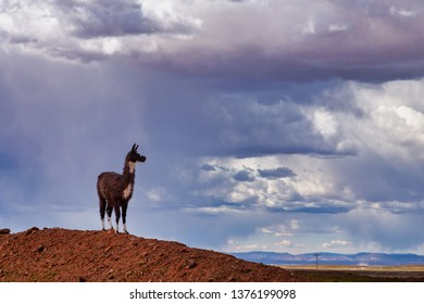A Llama (Lama glama) Staring form top of a Hill at the Andes Mountains. At background Storm Sky. Llamas are Domesticated South American Camelids