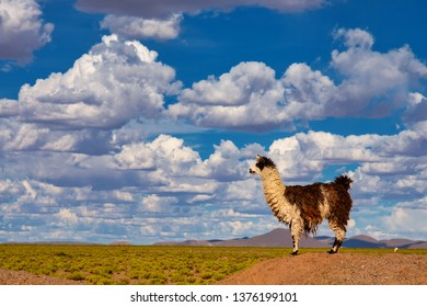 A Llama (Lama glama) Staring form top of a Hill at the Andes Mountains. At background Cloudy Sky. Llamas are Domesticated South American Camelids