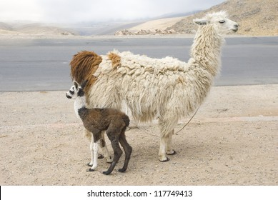 Llama (Lama glama) and its young. South American camelids, at El Infiernillo, province of Tucuman, Argentina