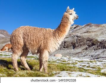 llama or lama on snowy mountain