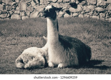 Llama at Machu Picchu, lying down with young lama, resting