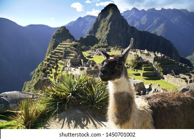 llama at the Machu Picchu ruin, Andes Mountains, Peru
