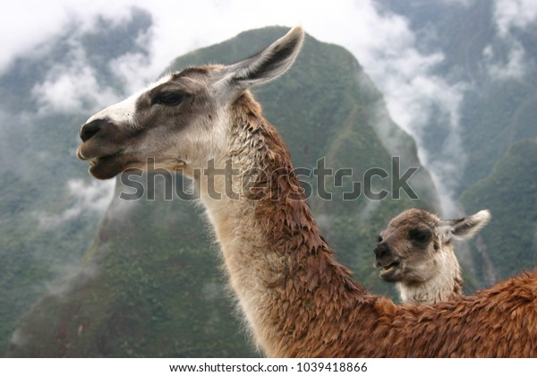 Llama Mama - In the Andes along the Inca Trail