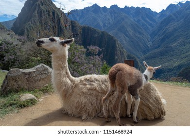 A llama mother and baby