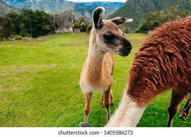 Llama mother and cub Glama - South Americans. Machu Picchu, Peru