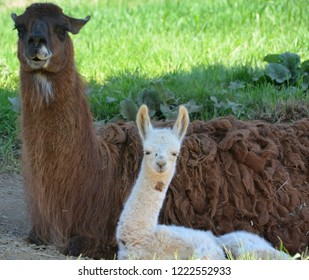 The llama mother and cub (Lama glama) is a South American camelid, widely used as a meat and pack animal by Andean cultures since pre-Hispanic times.