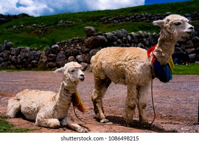 LLama mother and daughter eating food, closeup in Cusco, Peru, with colorful wool decoration