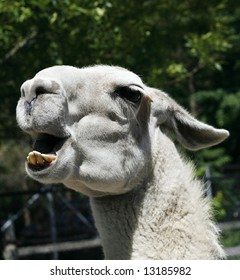 llama with open mouth