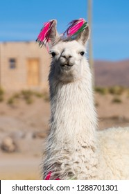 Llama portrait in Bolivia