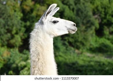 Llama profile on green background