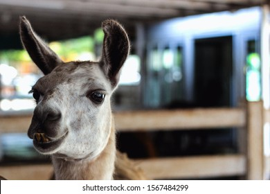 A llama with protruding teeth looks into the camera. Place for test