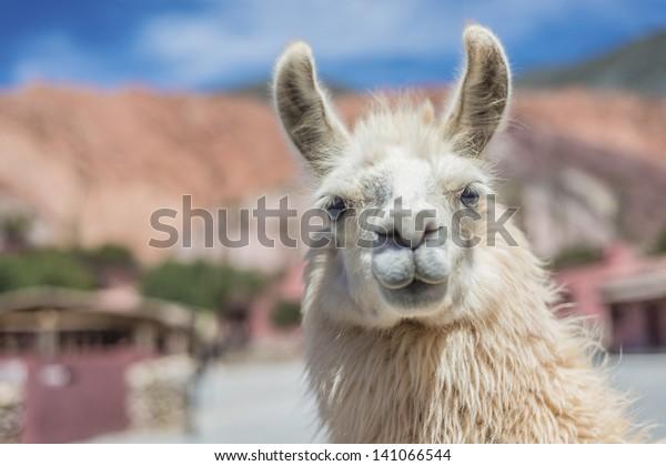 Llama in Purmamarca, near Cerro de los Siete Colores (The Hill of Seven Colors), in the colourful valley of Quebrada de Humahuaca in Jujuy Province, northern Argentina.