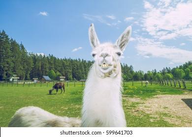 Llama relax in summer sunny day.