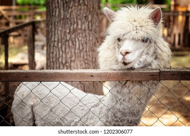 The llama is a South American mammal from the camelid family,behind the fence