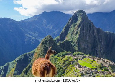 A Llama standing at Machu Picchu overlook in Peru.