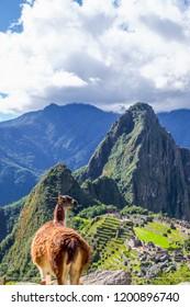 A Llama standing at Machu Picchu overlook in Peru.