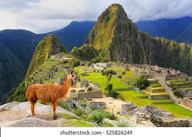 Llama standing at Machu Picchu overlook in Peru. In 2007 Machu Picchu was voted one of the New Seven Wonders of the World.
