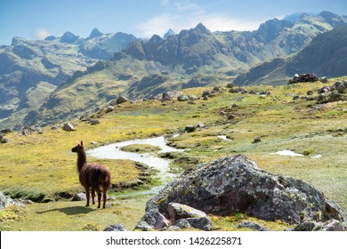 Llama Standing Tall in Peruvian Andes