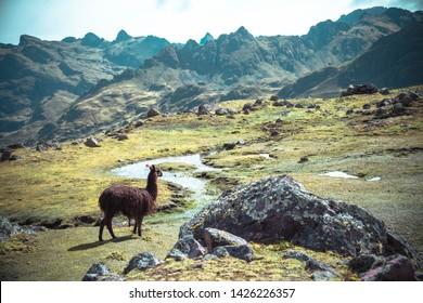 Llama Standing Tall Peruvian Andes