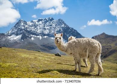 Llama staring at the camera.