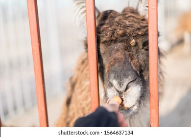 Llama takes food from the hands of man.Llama takes food from the hands of man