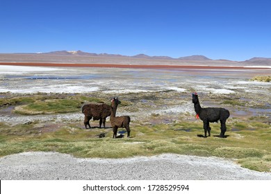"""The llamas against the backdrop of the red lagoon """"Colorada Lagune"""" in bolivia"""