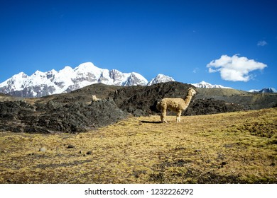 Llamas (Alpaca) in Andes Mountains, Amazing view in spectacular mountains, Cordillera, Peru, Alpacas in natural place, in the peruvian andes, magnificent mountains covered by snow in background