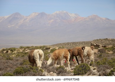 Llamas and alpacas in the field, near the Colca Valley in Peru, during the dry season at morning time, in a sunny day