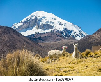 Llamas and alpacas graze in the mountains with Mount Sajama behind. Bolivia, south america