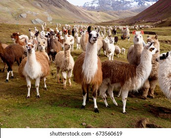 Llamas and Alpacas Of Peru