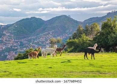 Llamas y alpacas en Sacsayhuaman, ruinas incas en los Andes peruanos, Cusco, Perú
