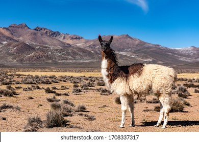 Llamas and alpacas under the blue sky in wonderful Salinas Lagoon in Arequipa, Peru