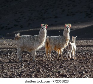 Llamas in the Andes mountains of Bolivia