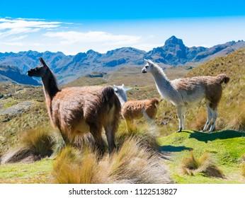 llamas at the Cajas park Cuenca Ecuador