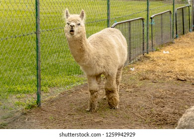 llamas are domesticated camelid from south America