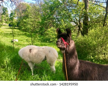 Llamas, domesticated South American camelids from the Andes mountains, grazing on a bright summer day