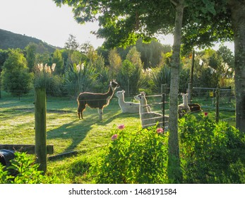 Llamas in an enclosed park in New Zealand