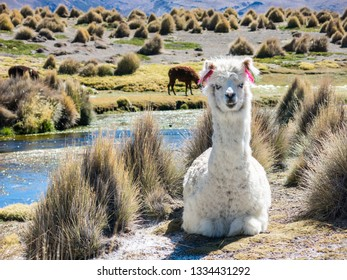 llamas graze through marshlands of the Bolivian altiplano near the Uyuni Salt Flat and Sajama, Bolivia, South America