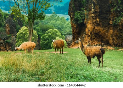 Llamas grazing in the natural park of cabarceno. Cantabria, Spain