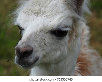 llamas have adapted well in Switzerland or they must also cohabit with flies and other insects of the country, even new born.