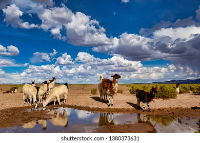 Llamas (Lama glama) Drinking Water at a Pond in the Andes Mountains. At background Cloudy Sky. Llamas are Domesticated South American Camelids