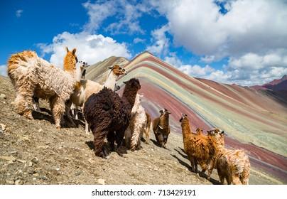 llamas looking to the rainbow mountain.Vinicunca Mountain, Peru, Cusco