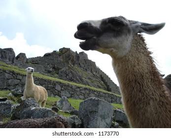 llamas at Macha Pichu
