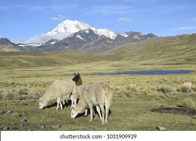 Llamas near the mountain Huayna Potosi (Bolivia)