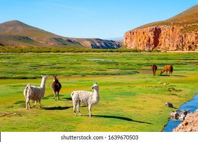 Llamas on the green field in Altiplano plateau, Bolivia. South America fauna