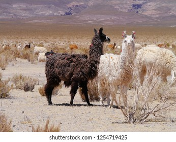 LLamas on the high Andean plateau among Argentina, Chile and Bolivia.