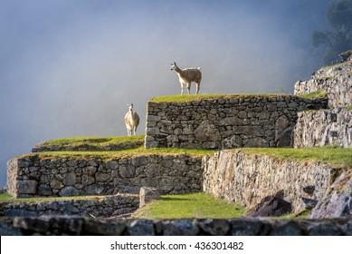 Llamas on Machu Picchu Terraces - Peru
