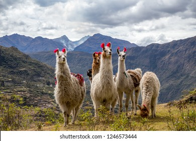Llamas on the trekking route from Lares in the Andes.