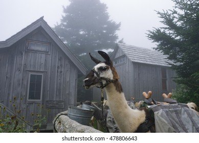 Llamas resting and eating after carrying supplies to the top of Mt. LeConte in the Great Smoky Mountains National Park